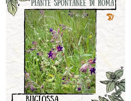 Buglossa (Anchusa officinalis L)