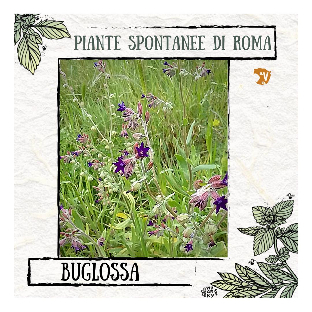 Buglossa | Piante spontanee di Roma