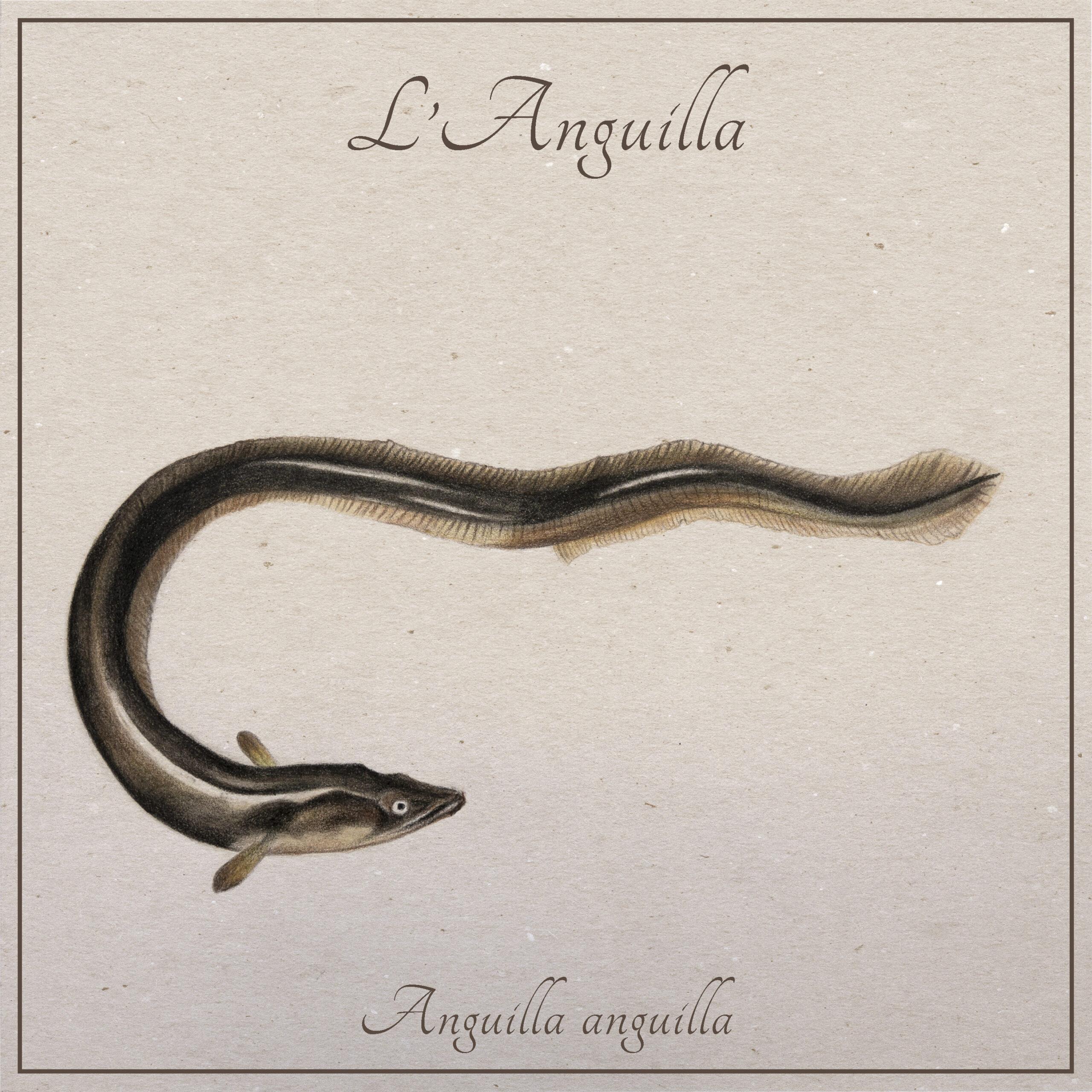 L'anguilla | Animali tiberini