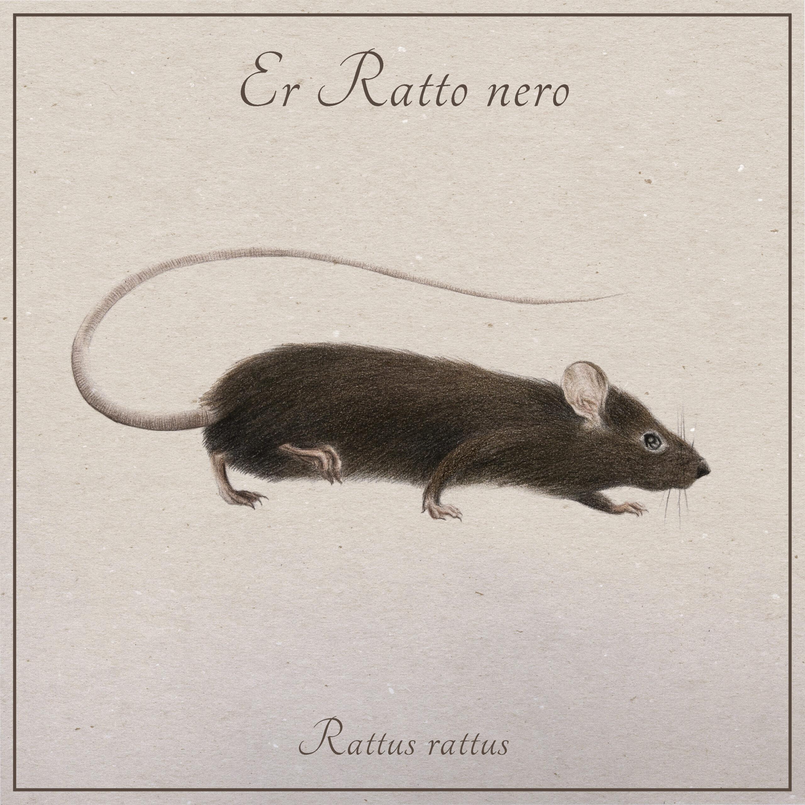il ratto nero, o ratto dei tetti, animale che vive a Roma e vicino al Tevere, illustrato da Nicoletta Guerrieri