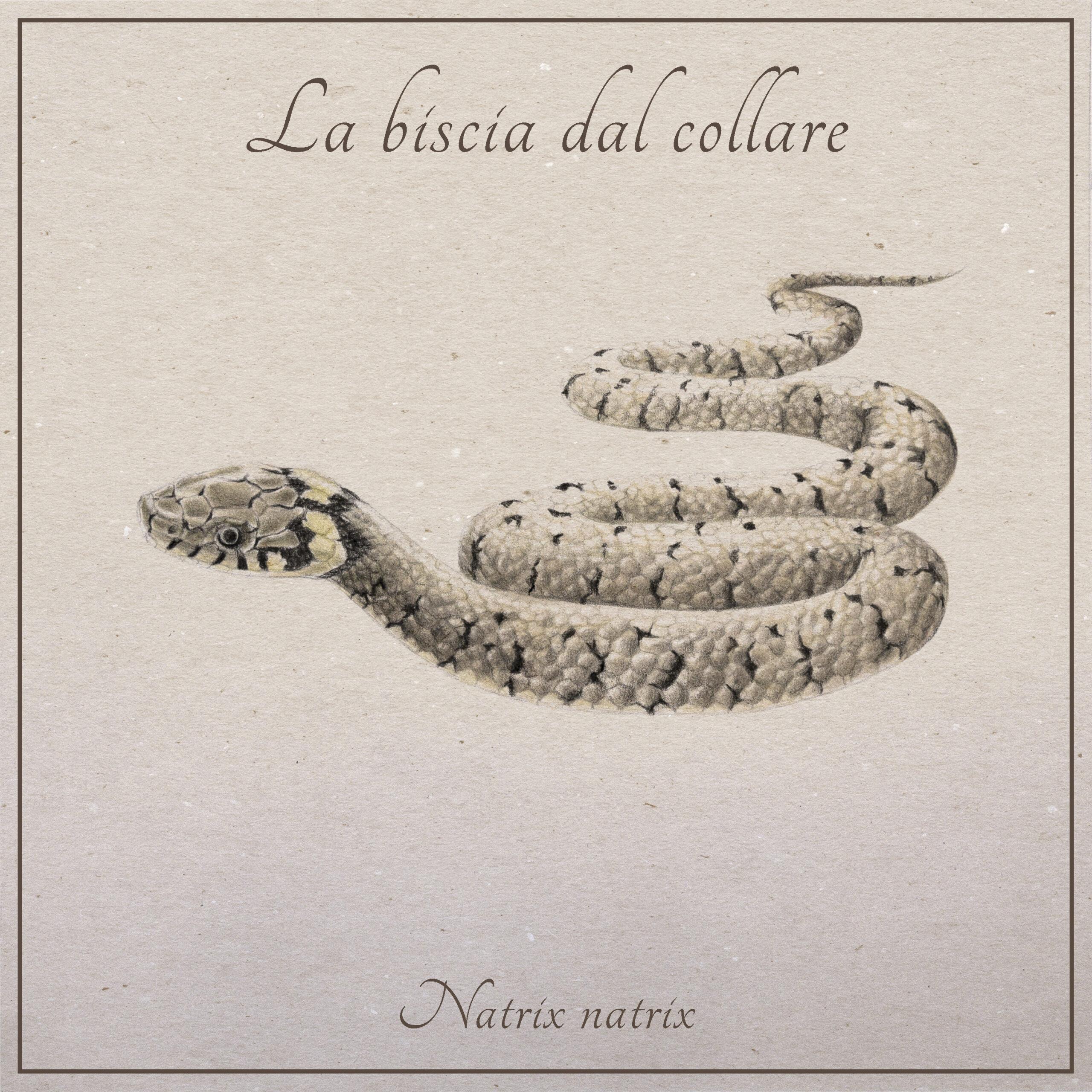la biscia dal collare, animale che vive nel Tevere, illustrata da Nicoletta Guerrieri