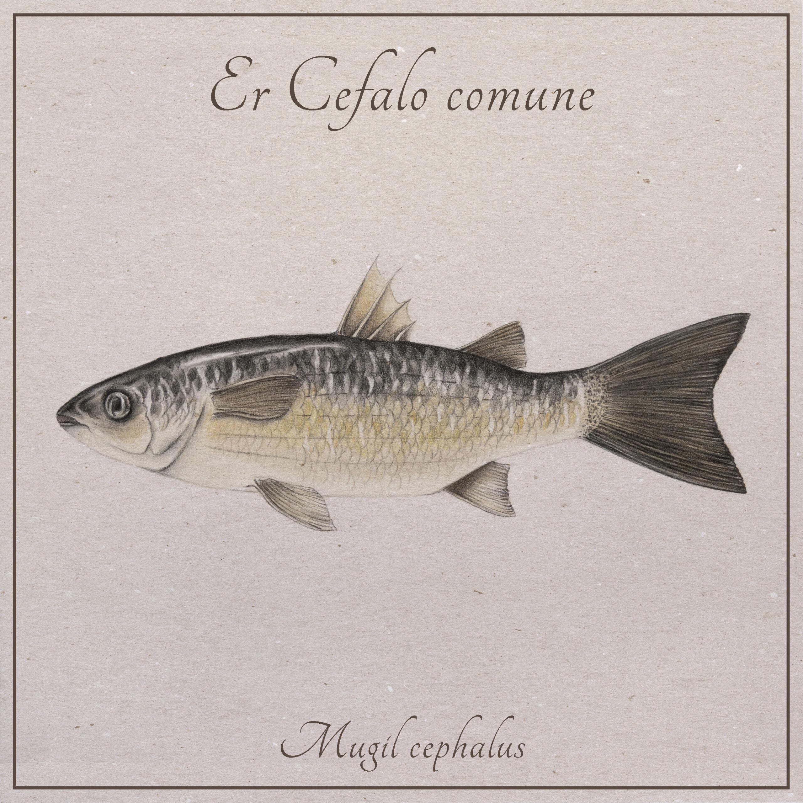 il cefalo comune, pesce che abita il fiume Tevere, illustrato da Nicoletta Guerrieri